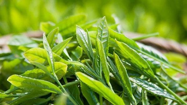 Tổng hợp những loại lá dùng để tắm cho trẻ trị các bệnh ngoài da